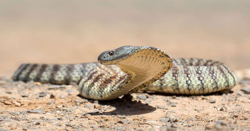Tiger snakebite deaths reveal problems with antivenom dosing | Clinical Knowledge Network